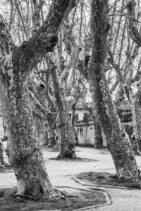 Pisa-piazza-alberi